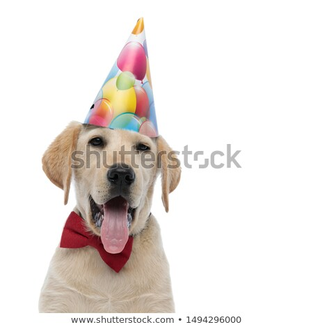 head of happy birthday golden retriever panting and looking up stock photo © feedough
