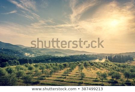 Olajfa kék ég absztrakt természetes keret mezőgazdasági Stock fotó © Anna_Om