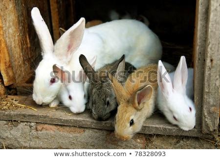 genç · tavşanlar · oturma · beyaz · tavşan · hayvan - stok fotoğraf © simply