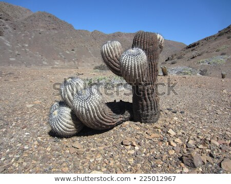 Cactus Copiapoa cinerea Stock photo © boggy