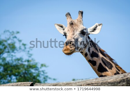 Girafe zoo illustration nature design fond Photo stock © colematt