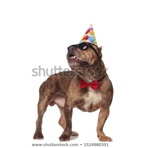 Stock photo: curious american bully wearing birthday hat and sunglasses looks