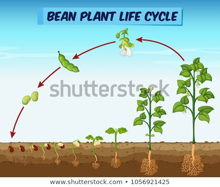Diagram showing bean plant life cycle Stock photo © colematt