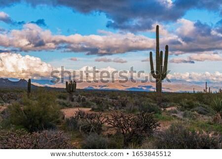 Kaktusz vihar illusztráció háttér sivatag fák Stock fotó © bluering