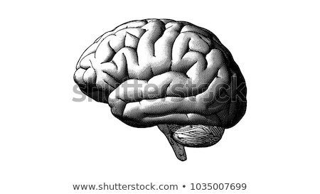 head organ human brain side view vintage vector stock photo © pikepicture