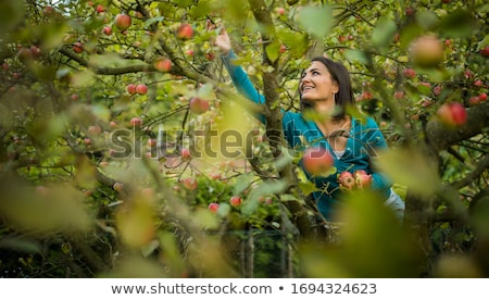 Cute young woman picking apples in an orchard  stock photo © lightpoet