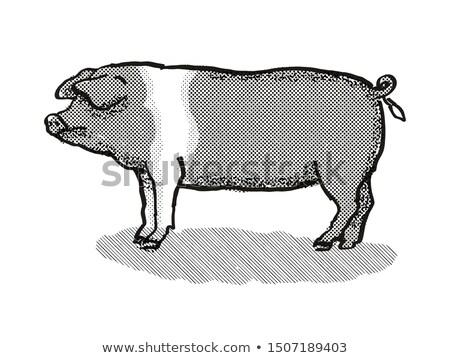 British Saddleback Pig Breed Cartoon Retro Drawing Stock photo © patrimonio