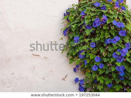Green ivy covered wall with white window Stock photo © bobkeenan