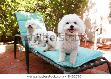 белый пушистый собака сидят позируют Сток-фото © ElenaBatkova