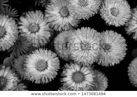 Rózsaszín százszorszép virág szirmok virágzik absztrakt Stock fotó © Anneleven