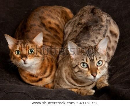 Pair of Bengal Kittens on seat Stock photo © backyardproductions