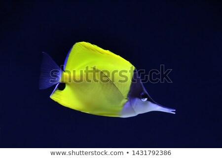 Yellow Longnose Butterflyfish Stock photo © cynoclub