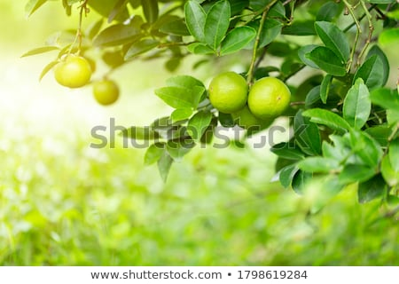 Lime tree in summer Stock photo © igabriela