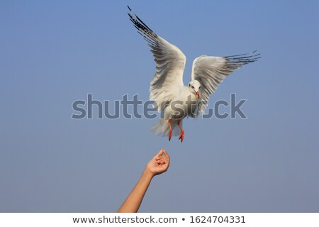 seagull hover in clear blue sky stock photo © bsani