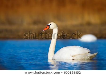 ミュート 白鳥 肖像 鳥 湖 赤 ストックフォト © mobi68