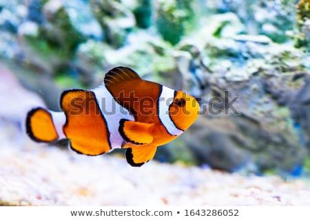 клоуна · рыбы · красочный · плаванию · аннотация · природного - Сток-фото © jonnysek