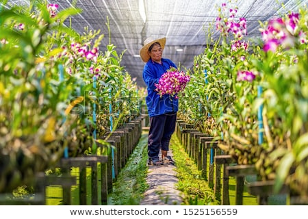 Stock photo: orchid farm at thailand