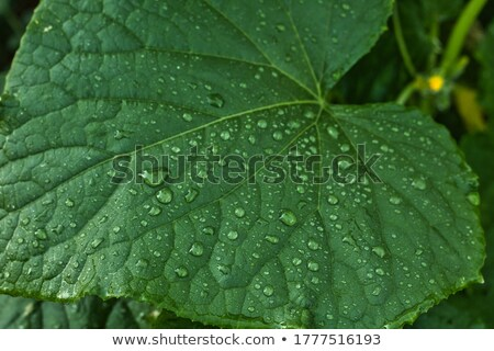 pepino · flor · hojas · aislado · blanco · diseno - foto stock © masha