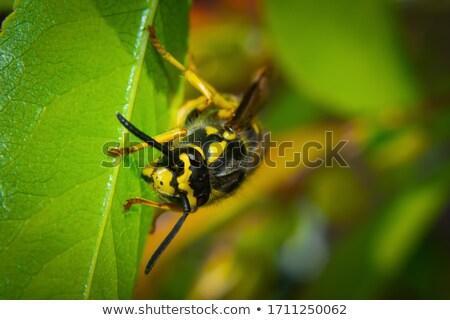 Darázs makró közelkép arc természet méh Stock fotó © brm1949