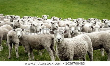 schapen · rij · drie · gepeupel · alle · kijken - stockfoto © trgowanlock
