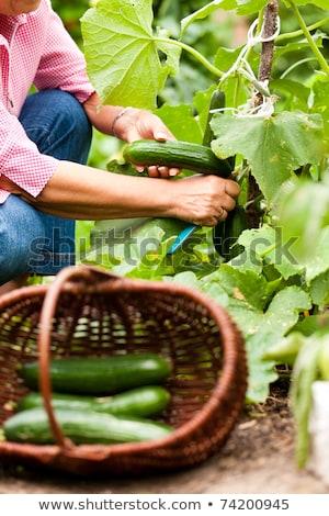 donna · raccolta · cetrioli · giardino · coltello - foto d'archivio © kzenon