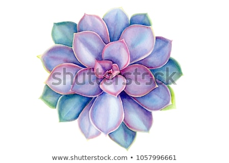 Violet flowers of Cactus stock photo © trala