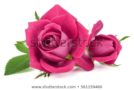 Pink rose flower bouquet isolated on white background cutout Stock photo © natika