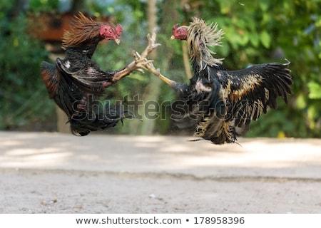 Fighting cocks in a vicious attack Stock photo © smithore
