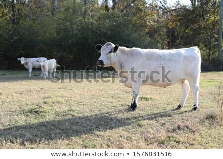 Brit fehér szarvasmarha kettő fekete fülek Stock fotó © rghenry