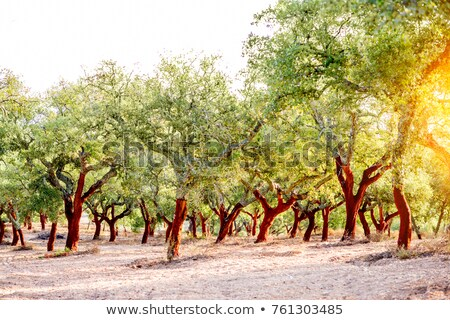 Oak trees in forest at Portugal.  Stock photo © inaquim