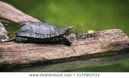 água · doce · tartaruga · imagem · fora · água · natureza - foto stock © cynoclub