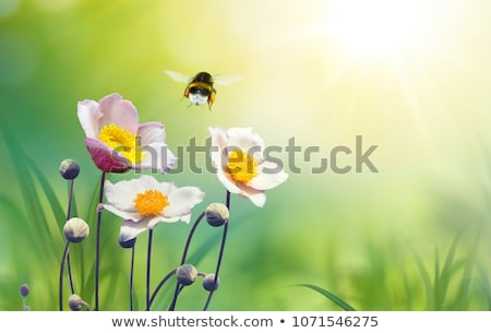 flying bumblebee stock photo © derocz