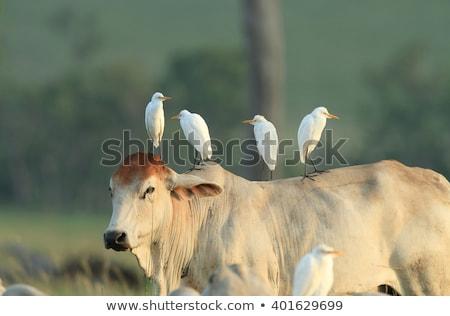 Szarvasmarha madarak áll mocsár legelő néz Stock fotó © Yongkiet