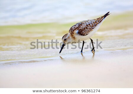 A  Galapagos Mockingbird Looking for Food on the Shore Stock photo © wildnerdpix