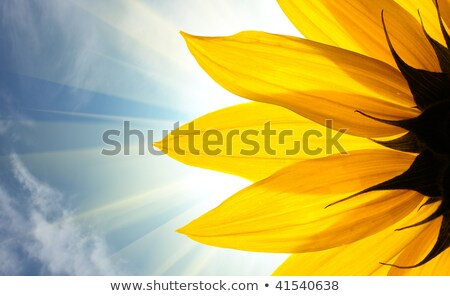 sunflower on sky background with copyspace stock photo © mikko
