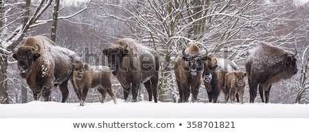 European bison family Stock photo © photosebia