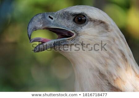 halcón · águila · sesión · árbol · naturaleza · belleza - foto stock © dirkr