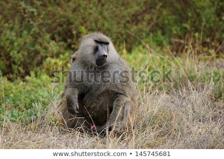 Portret młodych mężczyzna pawian morza małpa Zdjęcia stock © Mariusz_Prusaczyk