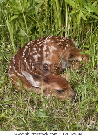 baby deer curled up sleeping stock photo © njnightsky