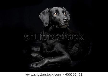 Stock photo: Mixed breed black dog sitting in dark studio
