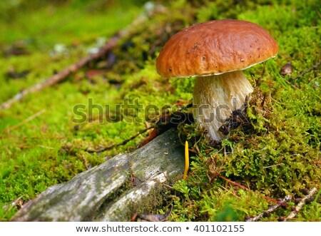 Borowik grzyby mech charakter zdrowia jesienią Zdjęcia stock © ISerg