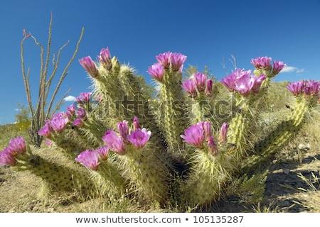 サボテン 植物 ツリー 自然 風景 砂漠 ストックフォト © bluering