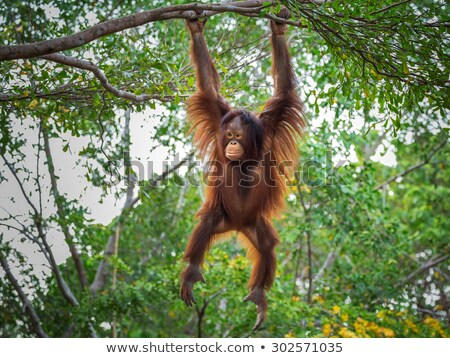 Brown orangutan with happy face Stock photo © bluering