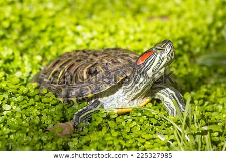 Stock photo: Turtle With Red Eyes