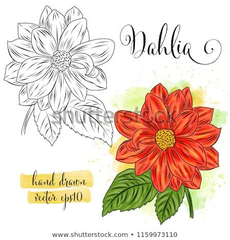 Botánico arte acuarela dalia flor vector de la flor Foto stock © balasoiu