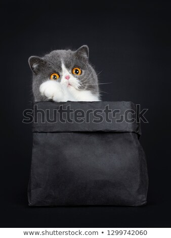 Funny Exotic Shorthair sitting in black paper bag, looking beside above camera with big orange eyes. Stock photo © CatchyImages