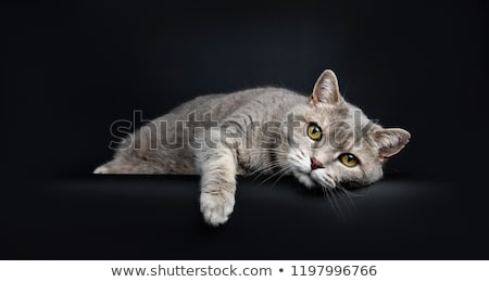 Wise looking senior British Shorthair cat, isolated on black background. stock photo © CatchyImages