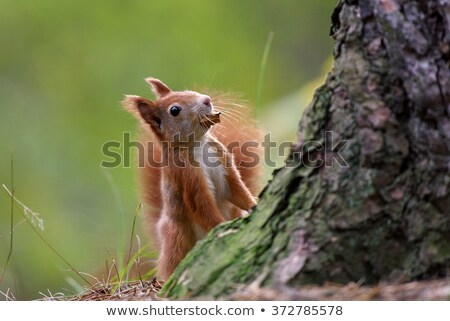 Squirrel Behind Tree Stock photo © Lightsource