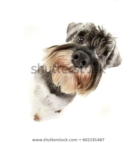 широкоугольный · выстрел · прелестный · собака · изолированный - Сток-фото © vauvau