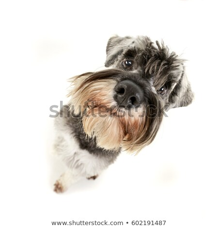 Сток-фото: Wide Angle Portrait Of An Adorable Miniature Schnauzer